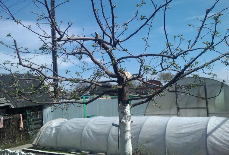 Правильная обрезка плодовых деревьев