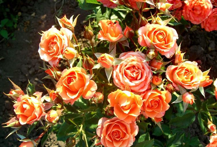Признаки Розы спрей