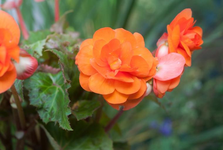 Бегония Клубневая Примари Оранж (Primary Orange) в ландшафтном дизайне