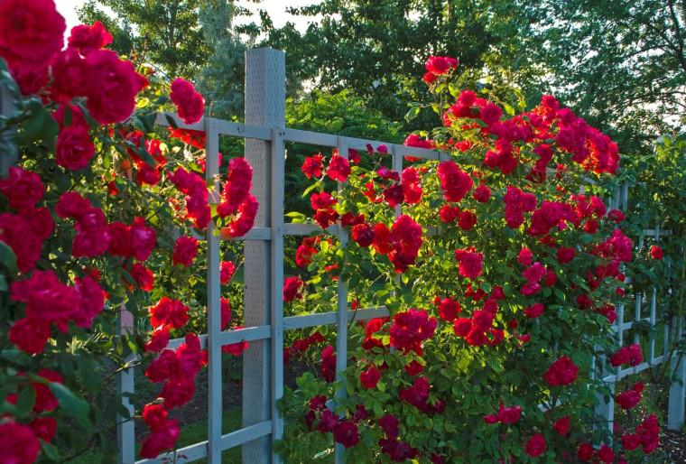 Плетистые розы и их соседи в ландшафтном дизайне