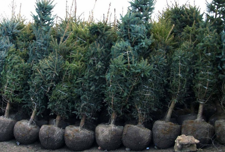 Посадка деревьев выше 2-х м высотой на участке