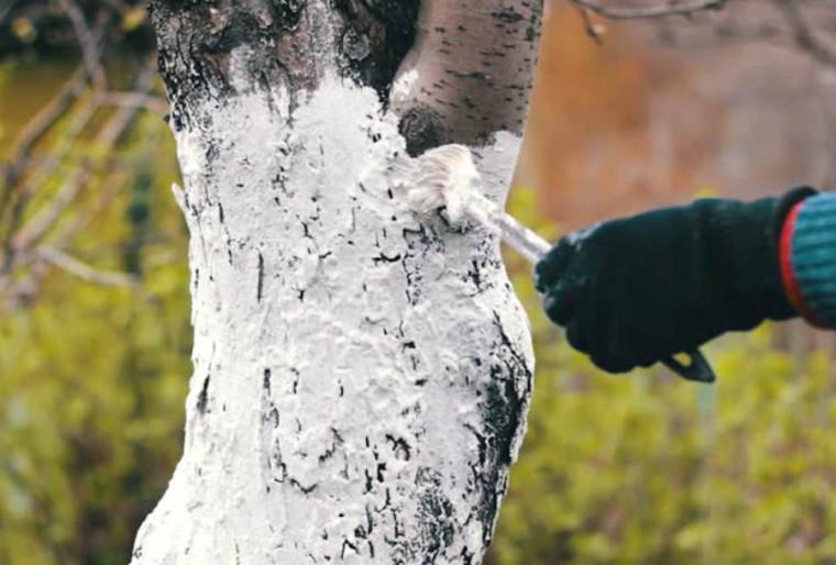 Особенности побелки деревьев: с какой целью выполняется эта процедура?
