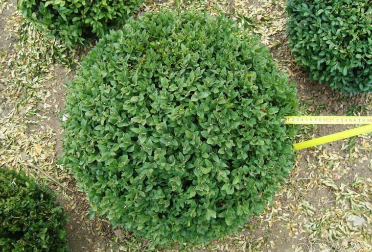 Самшит Вечнозеленый шар в ландшафте