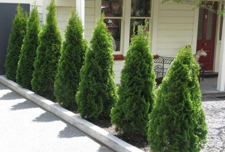 Туи — одни из популярнейших вечнозелёных растений